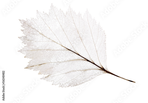 light leaf skeleton isolated on white