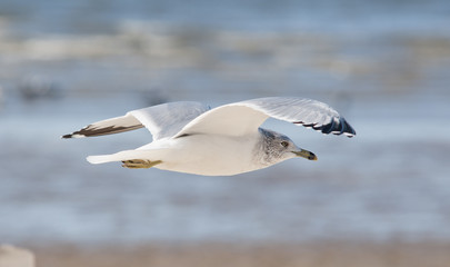 flying common seagull
