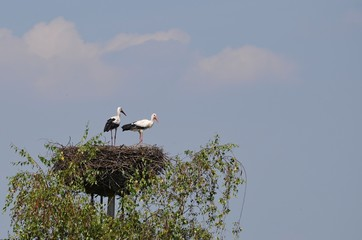 bird white stork