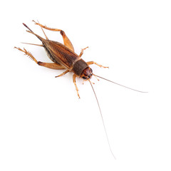 House cricket isolated on white