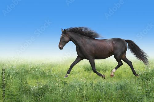 Pferd trabt auf der Wiese.