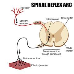 Spinal Reflex Arc