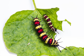 Leopard lacewing caterpillars