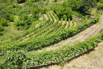 Wineyard In Montenegro