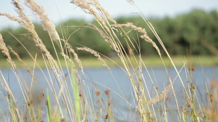 Nature background with coastal reed and lake water, slow motion