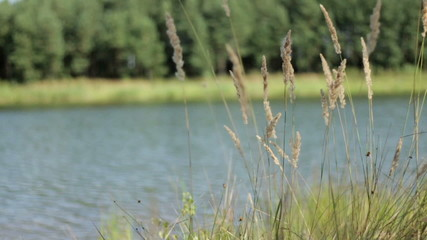 Reeds by the water, slow motion
