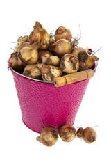 Flower bulbs in pink bucket