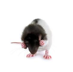 Ratte will nichts sehen und hören