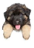 Fototapety German shepherd puppy on a white banner