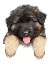 German shepherd puppy on a white banner
