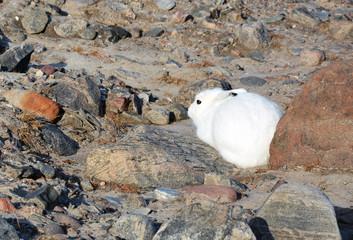 Polar Hase auf Grönland