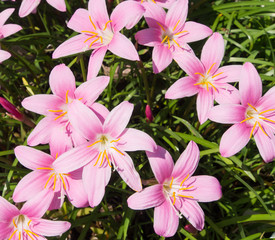 flower of zephyranthes