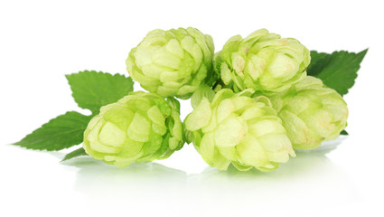 Fresh green hops, isolated on white