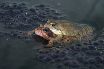 COMMON FROG, Rana temporaria, mating