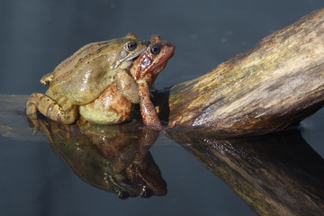 Common frog, Rana temporaria,