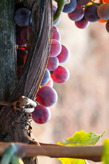 grapes close up