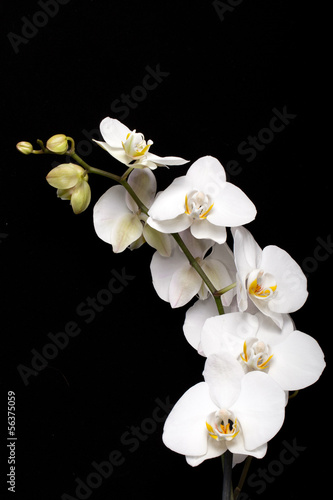 Fototapeta White orchid isolated on black