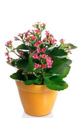 pianta fiorita di calancola in vaso
