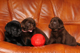 Three puppies with football ball