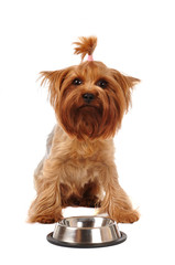 Sad yorkshire terrier with empty bowl
