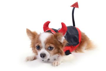 Devil chiwawa 5