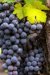 grappoli con foglie