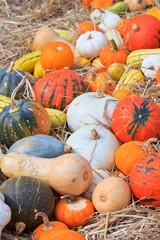 Pumpkin variety