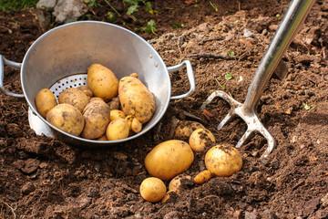 Kartoffeln im Sieb, Kartoffelernte, potato harvest