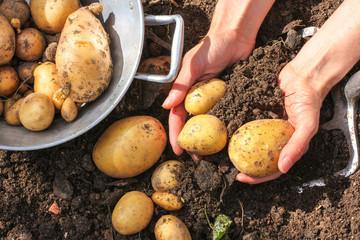 Ausgraben von Kartoffeln, potato harvest
