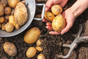 Potato harvest, Kartoffelernte, Sieb