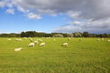 yorkshire wolds sheep