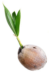 Young plant of coconut tree isolated