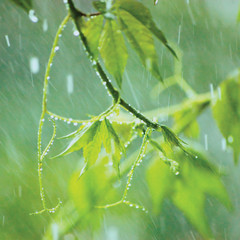 New Virginia Creeper, Early Summer Rainy Day