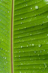 Macro of a leaf from a banana tree