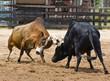 Bull fighting - 56402614