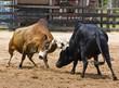 Leinwanddruck Bild - Bull fighting