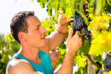 Man picking grapes with shear at harvest time
