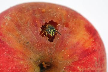 Wespe frißt Apfel