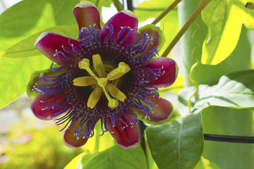 Closeup of a passion flower Passiflora Marijke.