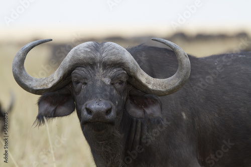 Fotobehang Buffel African cape buffalo portrait