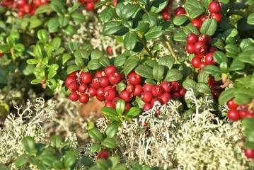 Red ripe lingonberries in forest moss.