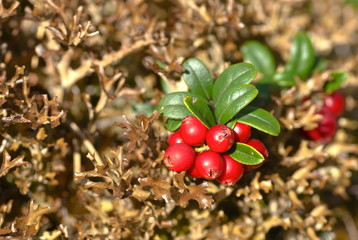 Red ripe lingonberries in brown forest moss.