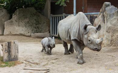 rhino rhinoceros animal baby  zoo