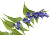canvas print picture - Gentiana asclepiadea_4