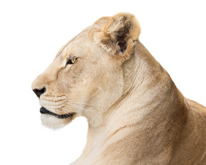 Fearless lioness