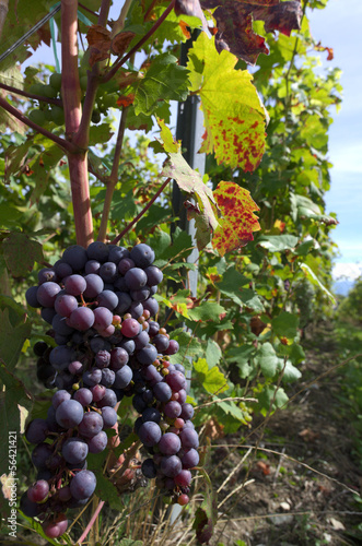 black vine grapes