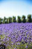 Fototapety Lavender flower field with blue sky3