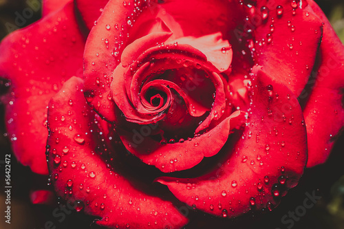 red rose flower with dew drops close up © Oleh Voinilovych