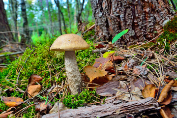 Boletus scaber (Leccinum scabrum) under the birch