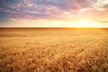 Meadow of wheat. Beautiful landscape.